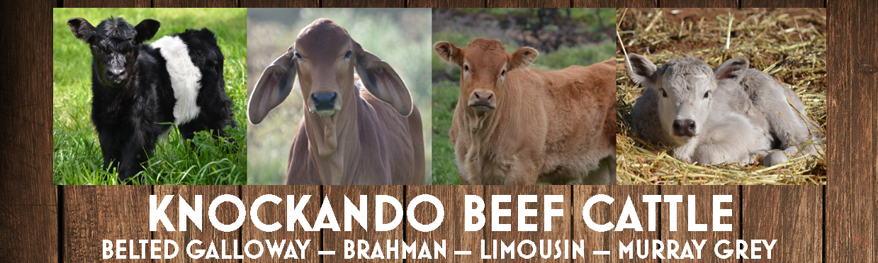 Home of Knockando Stud Beef Cattle